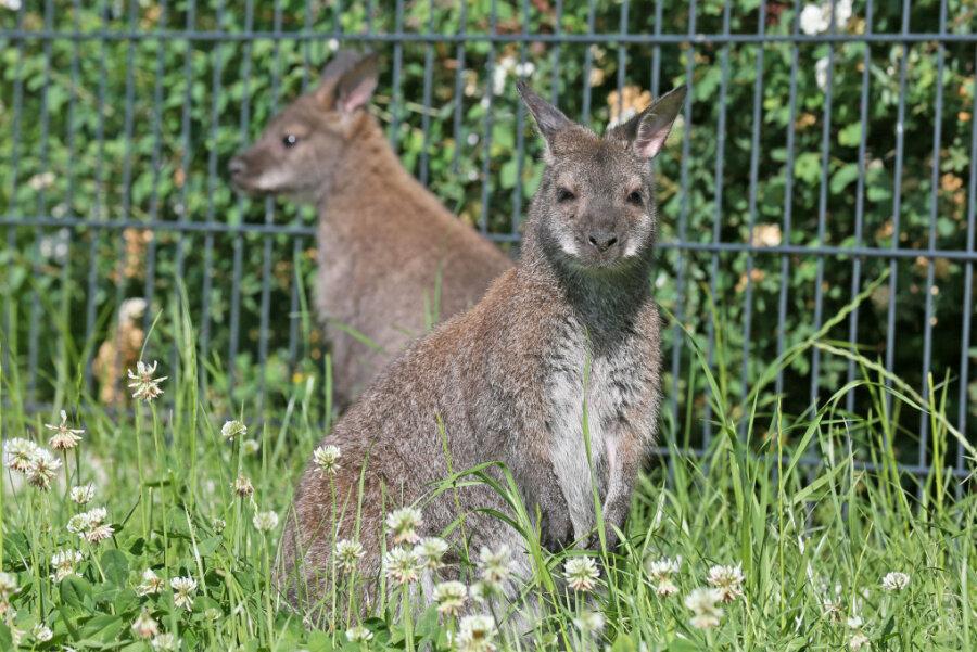 In Hirschfeld hüpfen jetzt Kängurus