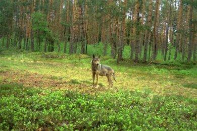 Eine Wölfin, aufgenommen mit einer Fotofalle bei Knappenrode (Ostsachsen).