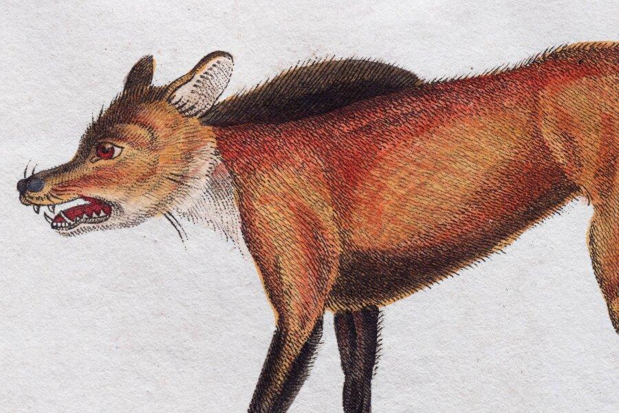 Ein historischer Kupferstich von einem roten Wolf.