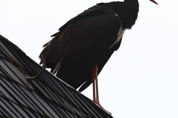 Der Schwarzstorch lebt in der Regel zurückgezogen.
