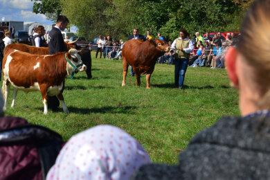 Tierpräsentationen wie hier die Fleischrinderschau zählten in Vorjahren zum Programm des Erntedankfestes in Altmittweida.