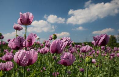 Das etwa acht Hektar große Wintermohnfeld bei Oberlungwitz steht in voller Blüte.