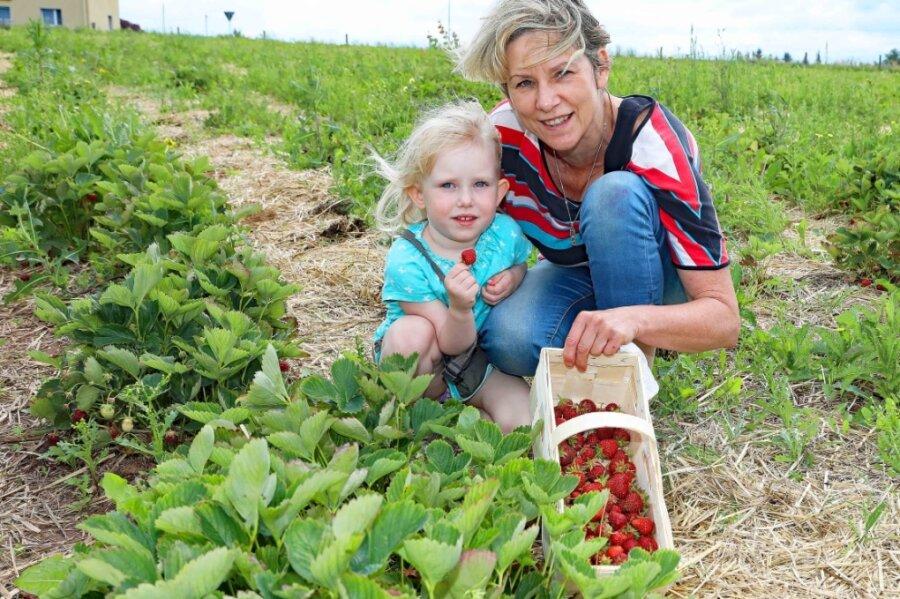 Antje Mitlacher aus dem vogtländischen Reuth pflückte am Mittwoch gemeinsam mit ihrer dreijährigen Enkelin Luise auf der Erdbeeroase im Fraureuther Ortsteil Gospersgrün.