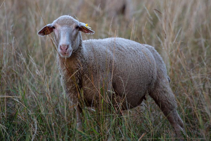 Vogtland: Bikerunfälle mit Schafen und Wildsau
