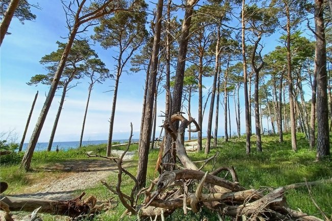 Standfest sind sie, wenn auch gebeugt: die Windflüchter am Darßer Weststrand, einem der schönsten Ostseestrände überhaupt.