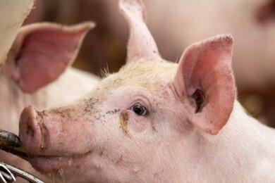 Bei Agraset Naundorf werden bereits Duroc-Schweine gezüchtet. Das dänische Landschwein eignet sich besonders gut, um ein schmackhaftes Fleisch, das reich an Omega-3-Fettsäuren ist, zu erzeugen.