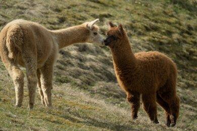 Flauschig und weich, so kennt man die Alpakas eigentlich. Am Dienstag ging es den Tieren an die Wolle.