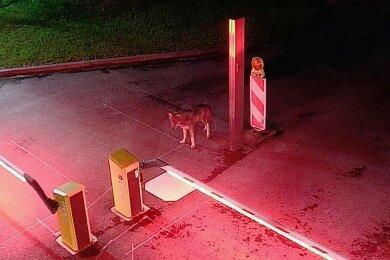 Bild einer Überwachungskamera: Der Wolf in Köln.