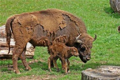 Das erst vor einer Woche geborene Wisent-Kalb im Hirschfelder Tierpark (Landkreis Zwickau) braucht noch Hilfe. Die Kleine hat noch keinen Namen, ist aber die erste Neugeburt auf der neuen Anlage in Hirschfeld.