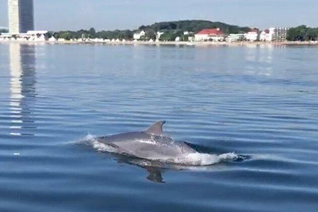 Nach Angaben des Deutschen Meeresmuseums Stralsund ist der Große Tümmler in den vergangenen Jahren ...