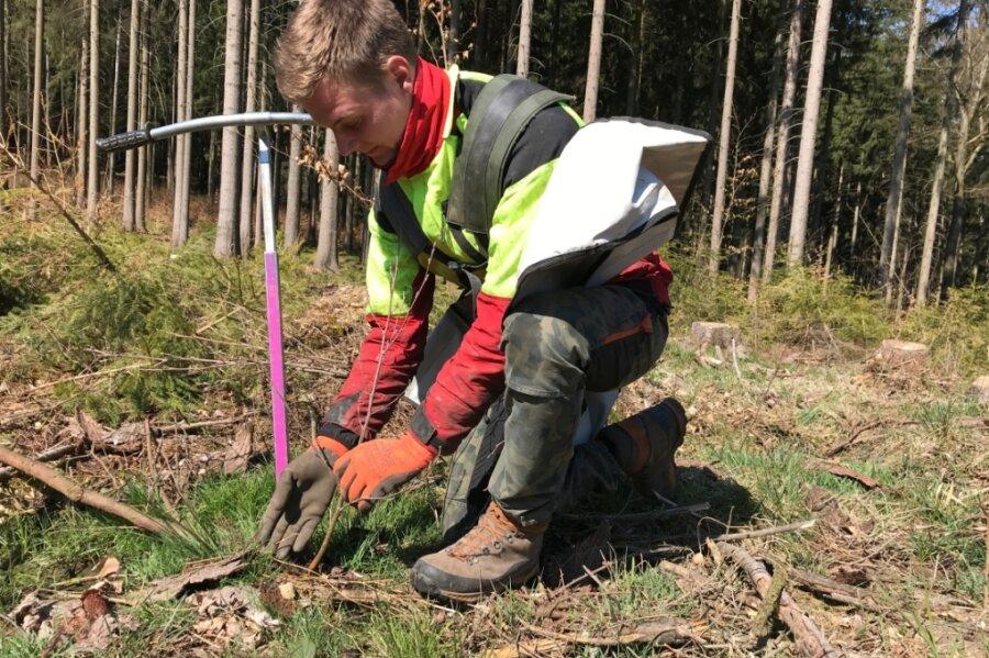 Mit dem sogenannten Göttinger Fahrradlenker bohrt Waldarbeiter Marcel Knüpfer ein Pflanzloch für den Setzling in den Boden.