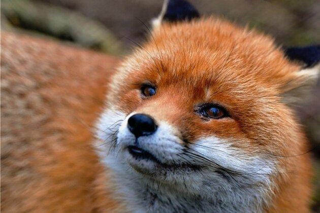 Sieht niedlich aus, kann aber gefährliche Parasiten übertragen: der Rotfuchs.