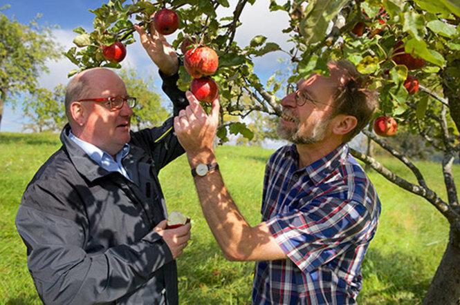 Fest und flüssig lecker: Äpfel aus heimischem Anbau