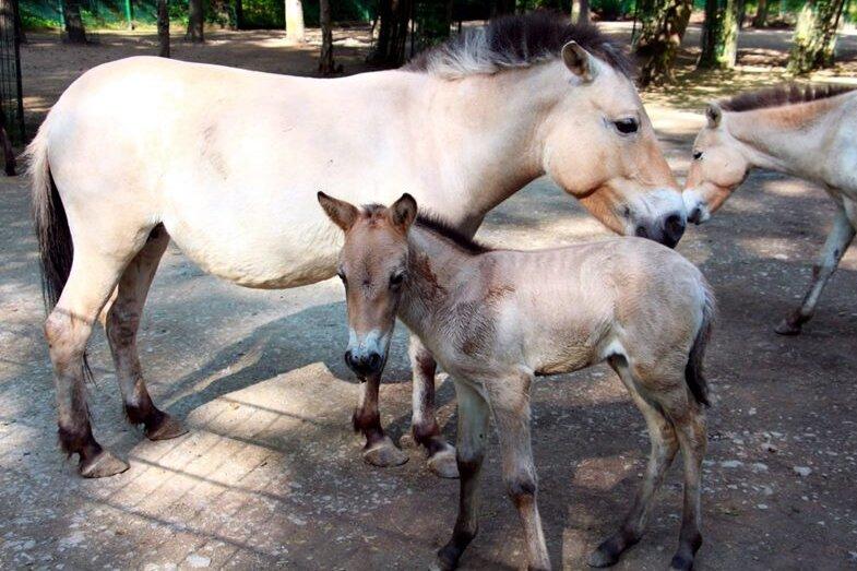 Im Tierpark Chemnitz ist die kleine Herde der Przewalskipferde ist um ein weibliches Fohlen angewachsen.
