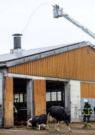Mutterkühe müssen evakuiertwerden, weil die Photovoltaik-Anlage auf dem Dach des Stalles brennt.
