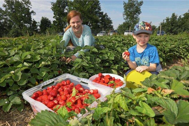 Mandy Badura hat mit Unterstützung von Sohn Erick am Montagvormittag rund 22 Kilogramm Erdbeeren in Dennheritz geerntet.