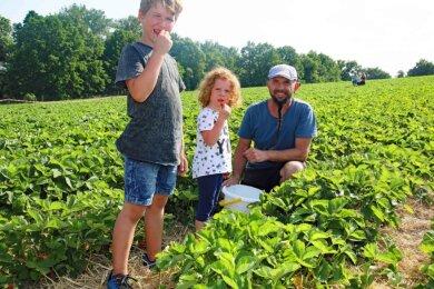 Auf anderthalb Hektar wachsen vier Sorten Erdbeeren zum selber pflücken.