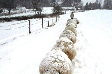 Schafe im Schnee: Die Wolle isoliert so gut, dass der Schnee nicht einmal abtaut.