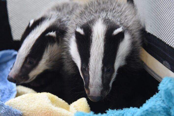 Die beiden Jungtiere sind sechs bis sieben Wochen alt. Die Polizei hat sie am Donnerstag nach Bad Elster gebracht.