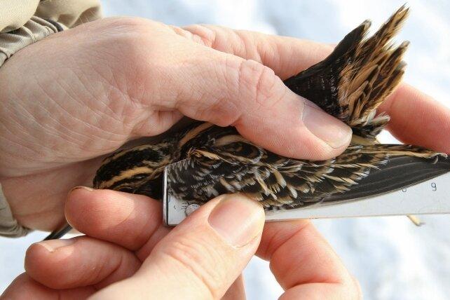 Ein Ornithologe vermisst die Zwergschnepfe.