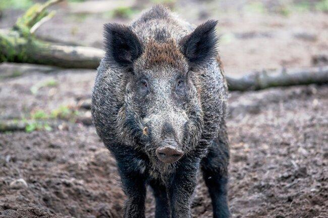 Auf der Suche nach Nahrung wühlen Wildschweine gerade im Winter oft tief im Boden - und nehmen mit Pilzen und Wurzeln auch radioaktive Substanzen auf.