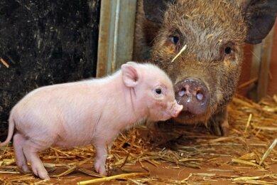 Bei den Minischweinen im Tierpark gibt es Nachwuchs. Zwei Muttersauen haben insgesamt elf Ferkel zur Welt gebracht.