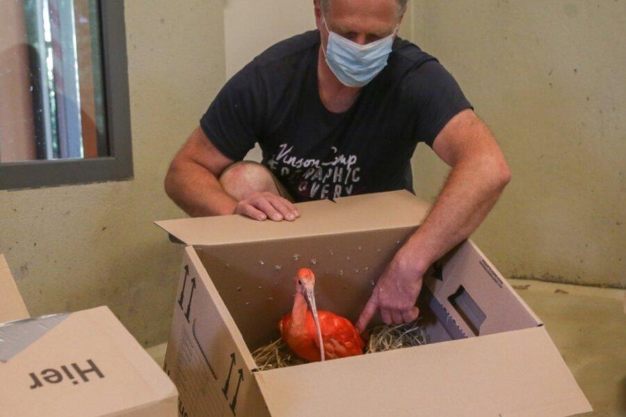Tierpfleger Mike Richter hat die Roten Sichler gestern nach Limbach-Oberfrohna geholt. Gereist sind sie in mit Stroh gepolsterten Kartons.