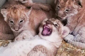 Vier junge Löwen wachsen derzeit im Leipziger Zoo heran.