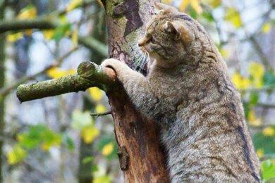 Eine Wildkatze wie diese wurde auch im Werdauer Wald nachgewiesen.