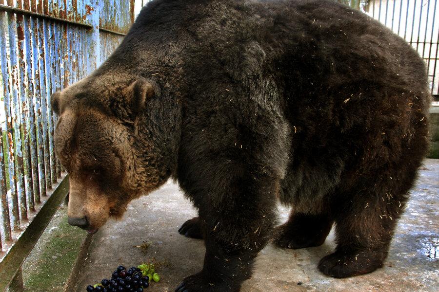 Der Tierpark Klingenthal trauert um seinen Braunbären Ingo.