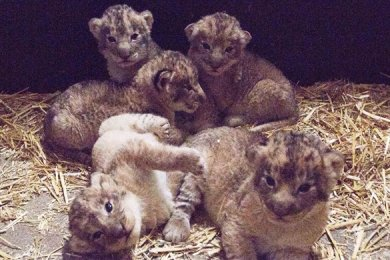 Aufnahmen der fünf Löwenkinder vom Januar. Nun sind zwei der Tiere tot.