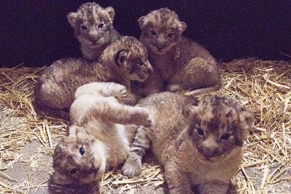 Erstmals zeigte der Leipziger Zoo jetzt Aufnahmen von den fünf Löwenkindern.