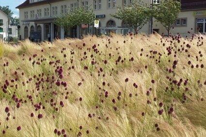 Das Anpflanzen von zweierlei Federgräsern auf dem Vorplatz des Binzer Bahnhofs hat möglicherweise die Bodenverhältnisse dort so verändert, dass sich dort weitere Grasarten angesiedelt haben.