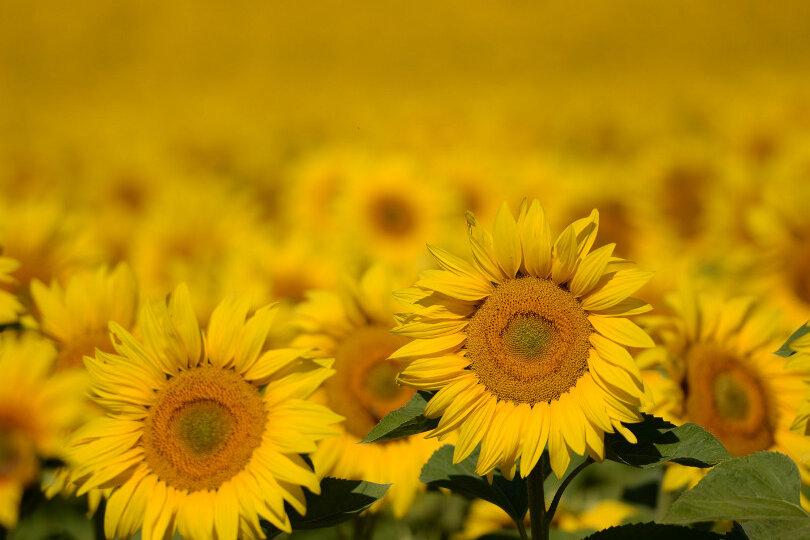 Sonnenblumen auf einem Feld nahe Langerwisch (Brandenburg).