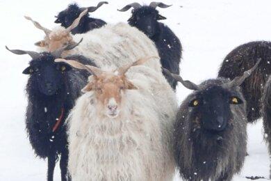 Die genügsamen Tiere finden selbst unter einer Schneedecke noch ausreichend Futter.