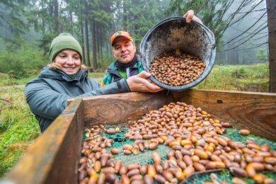 Forststudentin Anne Bohn und Revierförster Andreas Pommer füllen die gesammelten Eicheln in Kästen um, die in der Regel in zwei Metern Höhe auf einem Baumstumpf angebracht sind.