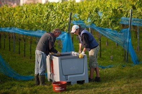 Lese auf einem Weinberg bei Meißen: Faule Trauben haben den Winzern im Elbtal dieses Jahr die Arbeit erschwert.
