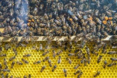 Der neue Bienenschaukasten ist im Kräutergarten hinter dem Karl-Aurand-Haus aufgebaut.