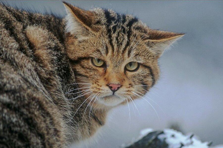 Nahaufnahme einer Wildkatze. Um das Wissen über die gefährdete Art zu fördern, hat die Naturschutzorganisation BUND einen Bildungsrucksack entwickelt. Ein Exemplar soll das Wildgatter Rabenstein erhalten.