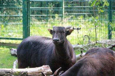 Zwei neue Anoa-Bullen gibt es ab sofort im Chemnitzer Tierpark.