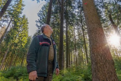 Revierförster Jörg Schlüssel im Stadtwald von Ehrenfriedersdorf. Die Fichten sind rund 100 Jahre alt und zur Erntenutzung vorgesehen, um Platz zu schaffen für nachwachsende Bäume.