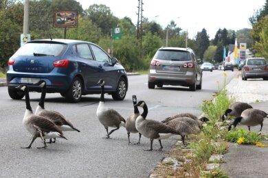 30. September: Die Kanadagänse an der Äußeren Zwickauer Straße. Am selben Tag ließ die Stadtverwaltung die Vögel einfangen.
