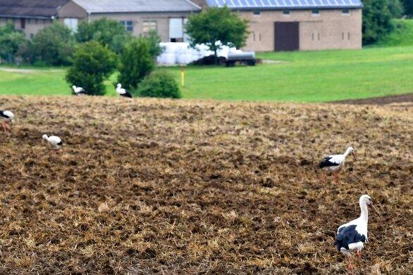 Mehr als 20 Störche haben am Mittwochvormittag auf einem abgeernteten Feld an der S 201 zwischen Rossau und Mittweida nach Futter gesucht.