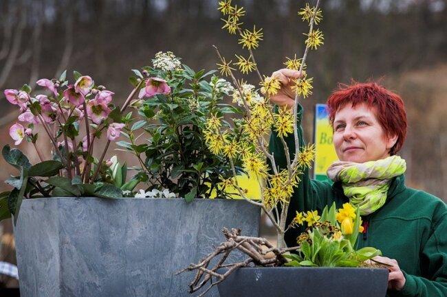 Yvonne Kreiser von der Baumschule Kreischa zeigt, was jetzt Farbe in den Garten bringt: Die immergrüne rosa Christrose blüht bis April. Weiße Tulpen und Hornveilchen sind eine gute Unterbepflanzung. Lorbeer-Schneeball blüht bis April, die gelbe Zaubernuss bis Ende März. Nicht fehlen dürfen Narzissen, Tulpen und Schlüsselblumen.