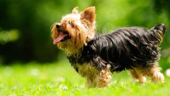 Hundebesitzer müssen in Wolkenstein tiefer in die Tasche greifen, auch für einen Yorkshire Terrier. Richtig teuer soll es aber für Herrchen und Frauchen von gefährlichen Hunden werden.