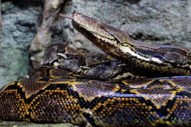 Thai muss nach Schlangenbiss auf Toilette genäht werden