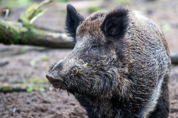 Wo nachts die Schweine quieken