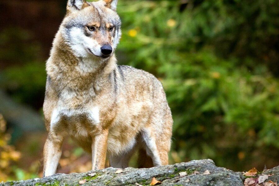 Der Wolf, hier ein Archivbild aus dem Nationalpark Bayerischer Wald, fordert auch in Mittelsachsen die Tierhalter. Immer wieder werden Nutztiere gerissen. Um die Tiere zu schützen, rüsten Züchter vielerorts ihre Zäune nach.