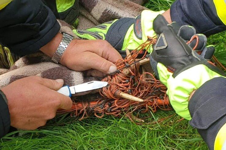 Feuerwehrleute versuchten, das Reh, das sich in einem Weidezaun unweit des Dorfbachs in Arnsdorf verfangen hatte, freizuschneiden. Noch während der Rettungsaktion erlag das Tier seinen Verletzungen.