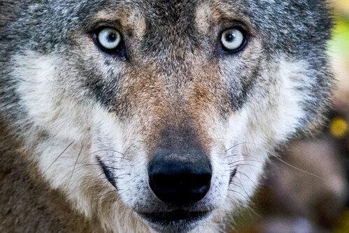 Annaberger steht plötzlich Wolf gegenüber